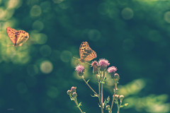 one.step (_andrea-) Tags: kaisermantel lepidoptera argynnispaphia perlmuttfalter butterfly bokeh bokehshots bokehjunkie bokehs beautifulshot andrea sonya7m2 fe90mmf28macrogoss schmetterling objektiv outdoor nature insekten insects