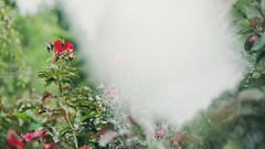 Rose (Nicola Pezzoli) Tags: italia bergamo leffe val gandino macro nature green natura ceride cerida rose prism glass reflection refraction garden zoom