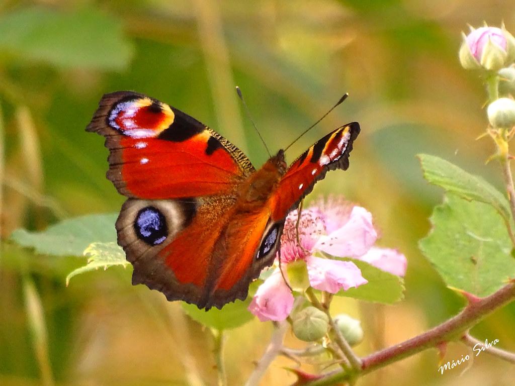 Águas Frias (Chaves) - ... borboleta colorida pousada em flor silvestre ...