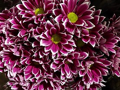 #Chrysanthemum (RenateEurope) Tags: 2018 renateeurope iphoneography flowers flora chrysanthemum awesomeblossoms
