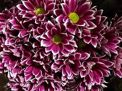 #Chrysanthemum (RenateEurope) Tags: 2018 renateeurope iphoneography flowers flora chrysanthemum awesomeblossoms