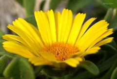 Margarita amarilla (amerida59) Tags: margaritaamarilla margarita floramarilla flores botánica