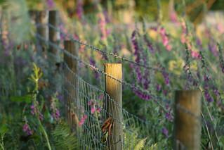 Foxglove Fence Friday
