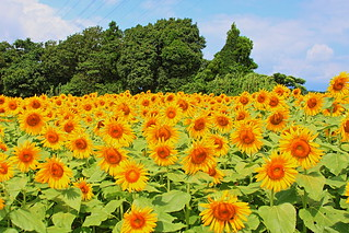 Sunflower field, Iwamoto Mountain