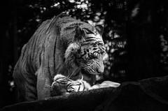 Léchouilles (Scholt's) Tags: tigre blanc black white nikon tiger d7000 animal duo couple amour love monochrome zoo beauval france big cat