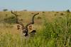 Kudu (Matt Gorvett Photography) Tags: kudu animal ears horns green brown africa south nambiti game nikon d5100 dslr grass bush