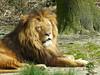 Löwe (Chriest) Tags: burgerszoo löwe pantheraleo