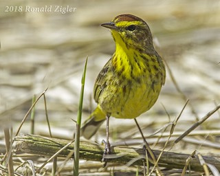Palm Warbler in the grass IMG_8154