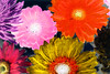 Closeup of colorful gerbera background in negative effect (rawpixel.com) Tags: africandaisy attractive background beautiful bloom blossom botanical botany closeup collection colorful daisy decoration effect flora floral flower fresh gerbera gerberadaisy inversion invert inverted isolated macro name natural nature negative pattern petal plant romantic spring summer surface texture textured transvaaldaisy wallpaper wet