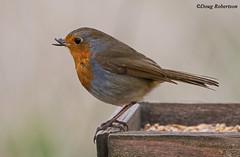 Robin (DougRobertson) Tags: robin bird birdwatcher animal nature greylake rspb wildlife