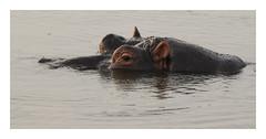 2018 02 01_Hippopotamus-1 (Jonnersace) Tags: hippopotamus hippo waterhorse hippopotamusamphibius seekoei mammal water sabieriver lowersabie krugernationalpark southafrica wildwingssafaris wild canon canon7dii canon100400ii eyes ears nostrils ripples