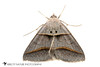 Common Ptichodis - Hodges#8750 (Ptichodis herbarum) 20180324_4615.jpg (Abbott Nature Photography) Tags: photography neoptera noctuoidea arthropodaarthropods whiteseamlessbackground lepidopterabutterfliesmoths erebidaetigermothslichenmoths endopterygota pterygota organismseukaryotes animals hexapoda technique invertebratainvertebrates insectainsects moth gordo alabama unitedstates us