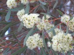 Eucalyptus viridis 4 (barryaceae) Tags: little desert national park vic victoria australia myrtaceae myrtle family order myrtales