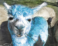 The packet said it will wash out ... It will, won't it???? 😟 (boeckli) Tags: alpaca colourful colorful colours colors colour bunt blue blau fauna tier animal animals tiere textures texturen texture textur topaz topazsimplify outdoor cmwdblue awardtree