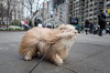 madison square park (Charley Lhasa) Tags: ricohgrii grii 183mm 28mm35mmequivalent iso400 ¹⁄₂₀₀₀secatf28 0ev aperturepriority pattern noflash s001142 dng uncropped taken180419163148 uploaded180423031851 4stars flagged adobelightroomclassiccc73 lightroomclassiccc73 adobelightroom lightroom breeze breezy day flatirondistrict newyork unitedstates us charley charleylhasa lhasaapso dog wind windy hair rainyday madisonsquarepark msp nycparks citypark urbanpark manhattan newyorkcity nyc ny httpstmblrcozpjiby2xm16vo tumblr180423