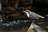 Dipper - 'Z' for zoom (hunt.keith27) Tags: cinclus dipper water rocks whirringflight habituallybobs brown white underwater insect larvae freshwater shrimps bird