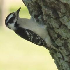 Downy Woodpecker, April 16 2018 (gurdonark) Tags: downy woodpecker bird birds wildlife green park allen texas