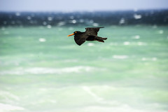 South_Africa_bird