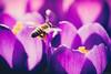 Hard Working Bee - Springtime (Sebastian Bayer) Tags: olympus insekt hell biene tier ausflug natur makro drausen licht warm blumen schatten omdem5ii 4015028 krokus mc14 zoo lila silhouette frühling heidelberg badenwürttemberg deutschland de