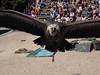 aigle (Soken9) Tags: animal aigle parc de courzieu