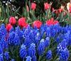 "IMG_0131e (tombarat) Tags: centralpark nyc usa conservatory""tulip""garden springtime"
