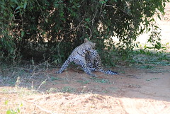 Африканский леопард, Panthera pardus pardus, African Leopard (Oleg Nomad) Tags: африканскийлеопард pantheraparduspardus africanleopard африка кения самбуру сафари животные природа africa kenya samburu animals nature travel