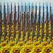 Bayonets and sunflowers