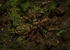 Toxopsoides erici (dustaway) Tags: northernrivers nature nsw australia rprr rainforest rotaryparkrainforestreserve arachnida araneae araneomorphae australianspiders desidae toxopinae toxopsoideserici