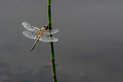 Four-spotted Chaser (Gareth Keevil) Tags: detail dragonfly dragons fourspottedchaser funinthesun garethkeevil insect malhamtarn malhamtarnmoss nikon nikon300mmpf nikond500 north peatbog summer sunshine uk wild yorkshire