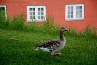 Happy greylag goose