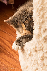 Nap Time (jmhutnik) Tags: pet calico bella fur