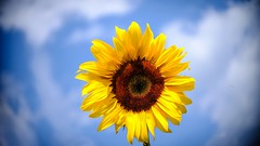 Sun Shine - 5486 (ΨᗩSᗰIᘉᗴ HᗴᘉS +19 000 000 thx) Tags: yellow sunshine sun tournesol sunflower fuji fujifilmgfx50s fujifilm laowa laowa60mm hensyasmine namur belgium europa aaa namuroise look photo friends be wow yasminehens interest intersting eu fr greatphotographers lanamuroise tellmeastory flickering 7dwf