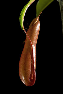 Unopened Nepenthes pitcher isolated on black
