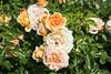 Maig_0090 (Joanbrebo) Tags: barcelona catalunya españa es parccervantes parc park parque garden jardi jardin flors flores fiori flowers rosa rose canoneos80d efs18135mmf3556isstm eosd autofocus 17èconcursinternacionalderosesnovesdebarcelona fleur blossom blumen