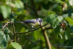 Mésange bleue (cécilelamoureux) Tags: mésange oiseau bird animal sauvage wild nature canon