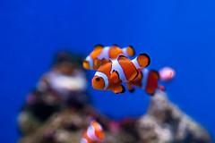 Clownfish of Enoshima Aquarium, Fujisawa : カクレクマノミ(藤沢市・新江ノ島水族館) (Dakiny) Tags: 2018 summer july japan kanagawa fijisawa shonan coast enoshima kataseenoshima aquarium enoshimaaquarium city street creature fish underwater blue macro bokeh nikon d750 tamron 35mm f18 tamronsp35mmf18divcusd tamronsp35mmf18divcusdmodelf012 sp35mmf18divcusd sp35mmf18divcusdmodelf012 modelf012