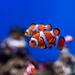 Clownfish of Enoshima Aquarium, Fujisawa : カクレクマノミ(藤沢市・新江ノ島水族館)