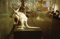 ... (Chemicalgrain) Tags: 35mm analog analogue filmphotography filmisnotdead filmcommunity olympusxa2 xa2 olympus filmcamera zonefocusing zuiko fujisuperiaxtra800 fujisuperia800 superia800 museums kangaroo compactfilmcamera