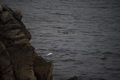 21721-egret flies off point lobos (oliver.dodd) Tags: california pointlobos park egret bird