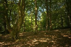 Clandeboye Wood (John D McDonald) Tags: northernireland ni ulster geotagged countydown codown northdown newtownards ards forest woods clandeboye clandeboyewood trees green brown nikon d3300 nikond3300 mottled dappled mottling dappling mottledlight dappledlight wood tree
