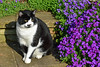 Claude ... Sitting Pretty (AndyorDij) Tags: claude cat england empingham rutland uk unitedkingdom andrewdejardin 2018 spring aubrieta