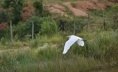 A garça se retira (Márcia Valle) Tags: garça heron egret ave bird pássaro garçabrancagrande nikond5100 márciavalle nikon fauna