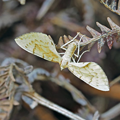 Barred Straw Gandaritis pyraliata (Clive E Jones) Tags: maeshafn moths moel findeg denbighshire north wales mothtrapping barred straw gandaritis pyraliata