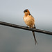 Red-rumped swallow_01