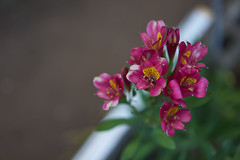 DSC04186 (@saka) Tags: autoupload flowers 69646981 leaves 1030 street 346