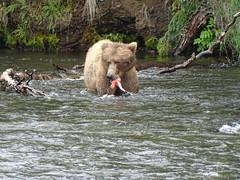 DSC07525 (jrucker94) Tags: alaska katmai katmainationalpark nationalpark bear bears grizzly grizzlybear brooksriver nature outdoors