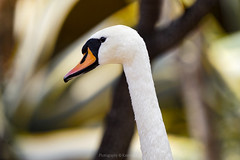 There is beauty in simplicity... (@Katerina Log) Tags: swan portrait closeup depthoffield bokeh attikazoopark katerinalog outdoor daylight wild water wildlife wildanimal feathers beak bird nature natura sonyilce6500 150600mmf563dgoshsm