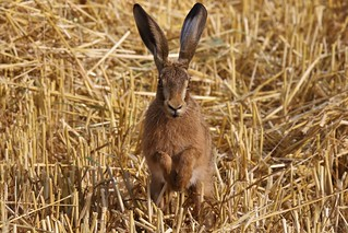Brown hare (Lepus europaeus) Where has all my corn gone mister ?
