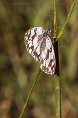 Estirando las alas (fotochemaorg) Tags: aladeanimal animal colorverde faunasilvestre insecto lepidópteros macro mariposa naturaleza planta primavera