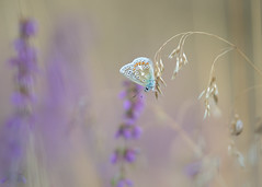 blue in the heather (Emma Varley) Tags: butterfly commonblue heather heathland dreamy soft pastels grass purple blue nature wild sullingtonwarren westsussex